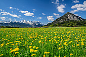 Meadow with blooming dandelions, Wetterstein with Alpspitze and Zugspitze in the background, Wetterstein Mountains, Upper Bavaria, Bavaria, Germany