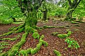 Buchenwald, Nationalpark Kellerwald-Edersee, UNESCO Welterbe Alte Buchenwälder, Hessen, Deutschland