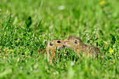 Two young ground squirrels cuddle, Spermophilus, Neusiedler See, National Park Neusiedler See, UNESCO World Heritage Neusiedler See, Burgenland, Austria