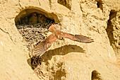 Kestrel flies out of horst with young, Falco tinnunculus, Lake Neusiedl, Lake Neusiedl National Park, UNESCO World Heritage Lake Neusiedl, Burgenland, Austria
