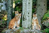 Three lynxes sitting on rocks, Lynx, Bavarian Forest National Park, Bavarian Forest, Lower Bavaria, Bavaria, Germany