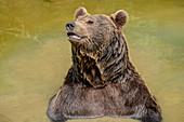 Brown bear bathes, Ursus arctos, Bavarian Forest National Park, Bavarian Forest, Lower Bavaria, Bavaria, Germany