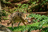 Wolf sneaks through forest, Canis lupus, Bavarian Forest National Park, Bavarian Forest, Lower Bavaria, Bavaria, Germany
