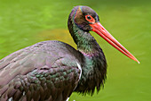 Black stork, Ciconia nigra, Bavarian Forest National Park, Bavarian Forest, Lower Bavaria, Bavaria, Germany
