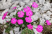 Pink Carthusian carnation blooms in rock debris, Dianthus carthusianorum, Vette Grandi, Rifugio Dal Piaz, Feltre, Bellunesian Dolomites National Park, Dolomites, UNESCO World Heritage Dolomites, Veneto, Italy
