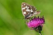 Checkerboard butterfly sits on thistle, Melanargia galathea, Bellunesian Dolomites National Park, Dolomites, UNESCO World Heritage Dolomites, Veneto, Italy
