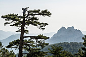 Massif with rocky mountain peaks and pine trees, Col de Bavella, Bavella massif, Corsica, France