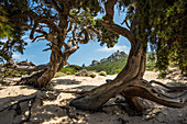 Ancient Phoenician Juniper (Juniperus phoenicea) on the beach, Roccapina, near Sartène, Corse-du-Sud, Corsica, France