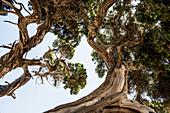 Uralter Phönizische Wacholder (Juniperus phoenicea) am Strand, Roccapina, bei Sartène, Département Corse-du-Sud, Korsika, Frankreich