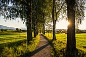 Weg und Birkenallee, Sonnenuntergang, bei Uffing, Oberbayern, Bayern, Deutschland