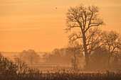 Tree silhouettes in the red light of the rising sun. Birds fly through a sky with dramatic colors and rising fog, Germany, Brandenburg, Neuruppin