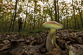 Mushroom picker searches for mushrooms in the autumn deciduous forest Buchenhain, Germany, Brandenburg, Spreewald