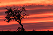 Cropped silhouette of an apple tree on a country road in the red light of the setting sun. Dramatic colors and cloud formations are in the sky, Germany, Brandenburg, Neuruppin