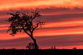 Freigestellte Silhouette eines Apfelbaumes auf einer Landstraße im roten Licht der untergehenden Sonne. Dramatische Farben und Wolken-Formationen sind am Himmel, Deutschland, Brandenburg, Neuruppin
