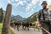 Shepherds and cows run in the herd with cowbells from the mountains over streets and passes, Germany, Bavaria, Oberallgäu, Oberstdorf
