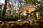 Umbrella mushroom under beech trees in autumnal deciduous beech grove in sunset from a low angle perspective, Germany, Brandenburg, Spreewald