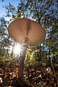 Umbrella mushroom in autumnal deciduous forest beech grove in sunset from a low angle perspective, Germany, Brandenburg, Spreewald