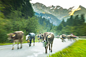 Cows with cowbells run in the herd on forested roads in the mountains. Germany, Bavaria, Oberallgäu, Oberstdorf
