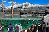 France, Paris, Paris Zoological Park (Zoo de Vincennes), Humboldt Penguin (Spheniscus humboldti) in the cold coastal environment reconstituted by riprap surrounding the basin, Patagonia biozone