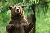 France, Hautes-Pyrenees, Argeles-Gazost, brown bear (Ursus arctos) in Pyrenees animal Park