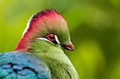 France, Maine et Loire, Doue La Fontaine, Bioparc zoo, Red-crested Turaco (Tauraco erythrolophus)