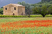 France, Vaucluse, regional natural reserve of Luberon, Vaugines, old ancient country-house surrounded with vineyards and cherry trees near a field of poppies