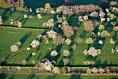 France, Doubs, Abbevillers, cherry blossoms in an old orchard (aerial view)