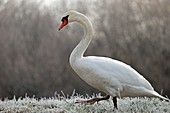 France, Doubs, Mute Swan (Cygnus olor) moving in a frosty meadow hive