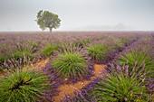France, Alpes de Haute Provence, Parc Naturel Regional du Verdon (Regional natural park of Verdon), Puimoisson, field of lavender on the plateau of Valensole