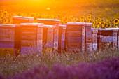 France, Alpes de Haute Provence, Parc Naturel Regional du Verdon (Regional natural park of Verdon), plateau of Valensole, hives between a field of lavender and sunflowers