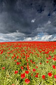 France, Allier, rape field and poppies, stormy sky
