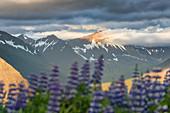 Lupinen vor sonnenbeschienen Gipfel, Westfjorde, Island