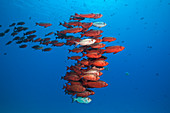 Shoal of reef bigeye, Priacanthus hamrur, North Male Atoll, Indian Ocean, Maldives