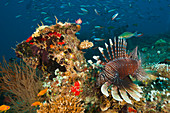 Indian lionfish, Pterois Miles, South Male Atoll, Indian Ocean, Maldives