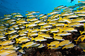 Shoal of blue-striped snappers, Lutjanus kasmira, South Male Atoll, Indian Ocean, Maldives