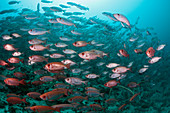 Shoal of reef bigeye, Priacanthus hamrur, Ari Atoll, Indian Ocean, Maldives