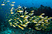 Shoal of Blue-striped Snappers, Lutjanus kasmira, Ari Atoll, Indian Ocean, Maldives