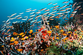 Colorful coral reef, Ari Atoll, Indian Ocean, Maldives