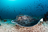 Black-spotted stingray, Taeniura meyeni, Ari Atoll, Indian Ocean, Maldives