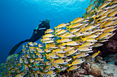 Shoal of blue-striped snappers, Lutjanus kasmira, Felidhu Atoll, Indian Ocean, Maldives