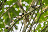 Young barn swallows sit on a branch and are fed by the parent animal, Germany, Bavaria, Allgäu