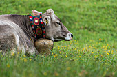Portrait of an Allgäu cow with cowbell, lying in a flower meadow, Germany, Bavaria, Allgäu
