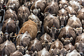 Densely crowded herd of cows on the Viehschied Oberstdorf, Germany, Bavaria, Allgäu
