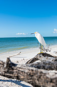 A great egret on the beach of the Gulf of Mexico, Fort Myers Beach, Florida, USA