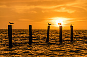 Silhouette of birds on weathered wooden posts in the Gulf of Mexico at sunset, Fort Myers Beach, Florida, USA