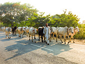 2018, Vrindavan, Uttar Pradesh, India, cowherd with his cows on the road between Radhakund and Varshana