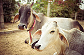 2019, Govardhan, Vrindavan, Uttar Pradesh, India, cows on the pilgrimage route around the sacred mountain Govardhan