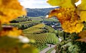 Weinfelder im Herbst bei Altvogtsburg am Kaiserstuhl bei Freiburg, Baden-Württemberg, Deutschland