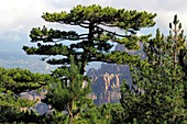 View with rocky landscape and pine trees to the east at Col de Bavella, South Corsica, France