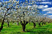Kirschblüte bei Werder, Havelland, Land Brandenburg, Deutschland